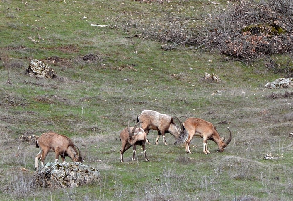 Wild goats, prevalent in central Turkey and in mountainous areas, are popular among foreign hunters.