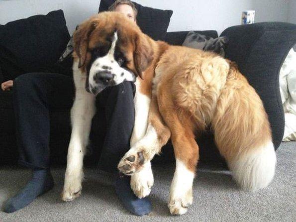 Dev köpekler görenleri şaşırtıyor