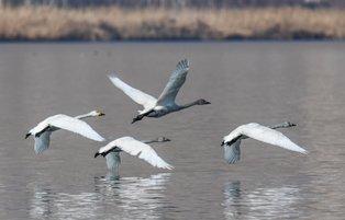 Turkey's Lake Van basin hosts Siberian whooper swans