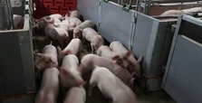 Amid tensions, China to ban import of pigs from India