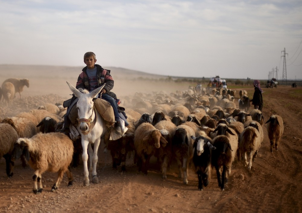 With less than 2 kilometers left to liberate the town of al-Bab held by Daesh, locals have started to leave their homes together with their herds of sheep on Nov. 16. (AA Photo)