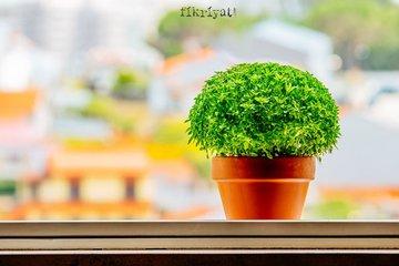 Fesleğen evde nasıl yetiştirilir? Fesleğenin yaprakları nasıl toplanır?