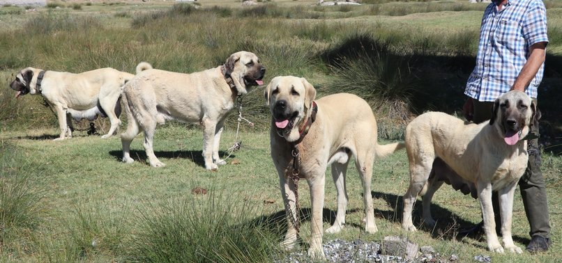 Try These Kangal Puppies For Sale In Pakistan {Mahindra Racing}
