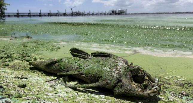 Florida algae bloom afflicts economy sea life daily sabah for Florida lake fish