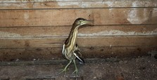 Rare Indian pond heron rescued in w. Turkey's Izmir