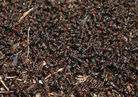 Kırmızı orman karıncaları, Çankaya Köşkü'nde nöbette