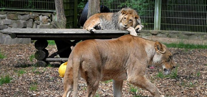 ESCAPED ZOO ANIMALS IN GERMANY CAPTURED