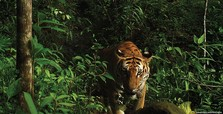 4 rare Bengal tigers dead in 1 month in Nepal