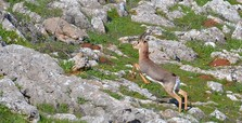 Syrian war drives mountain gazelles into s. Turkey