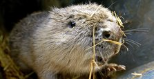 Beavers brought in to beat flooding in Britain