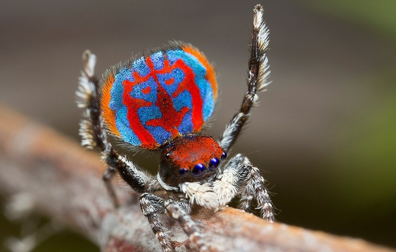 A specimen of the newly-discovered Australian Peacock spider, Maratus Bubo, shows off his colourful abdomen in this undated picture from Australia (Reuters Photo)