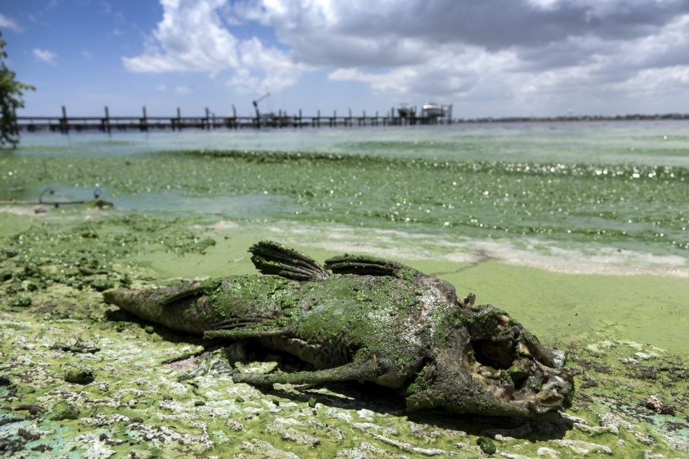 A dead fish at the Central Marinau2019s entrance in Stuart, Florida, contaminated by Blue-Green Algae from the Lake Okeechobee. Some of the South Florida Beaches have had to be closed due to the Blue-Green Algae, from Lake Okeechobee.