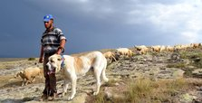 China's han sheep under protection of Turkish mastiffs