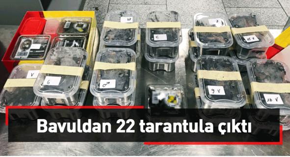 Bavuldan 22 tarantula çıktı