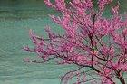 Aşkın, umudun, pişmanlığın kokusu çiçeğinin renginde: Erguvan