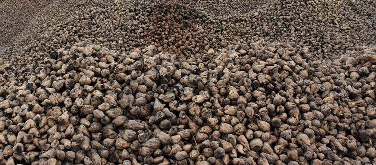 Şeker pancarı hamurundan bio poşet önerisi
