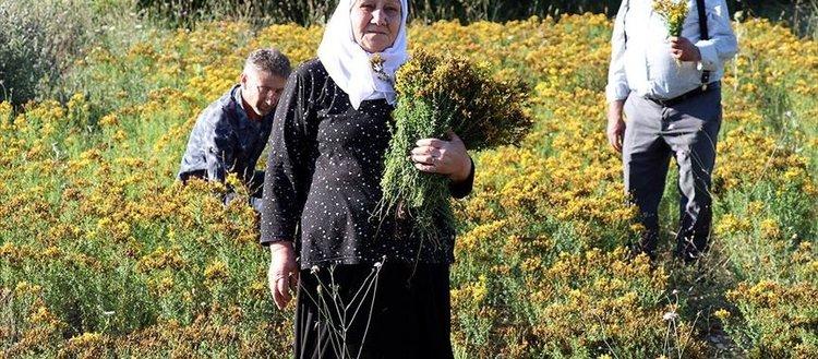 'Altın sarısı' çiçekli kantaronda hasat zamanı