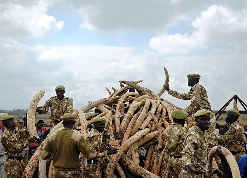 Kenya Wildlife Services (KWS) rangers piling up elephant ivory onto a pyre at Nairobi's national park in preparation for a historic burning of tonnes of ivory, rhino-horn and other confiscated wildlife trophies, on April 20, 2016. (AFP Photo)