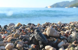 70,000 baby turtles make their way to sea in Turkey
