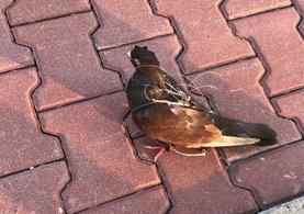 Silivri Cezaevi'nde haberci kuş yakalandı