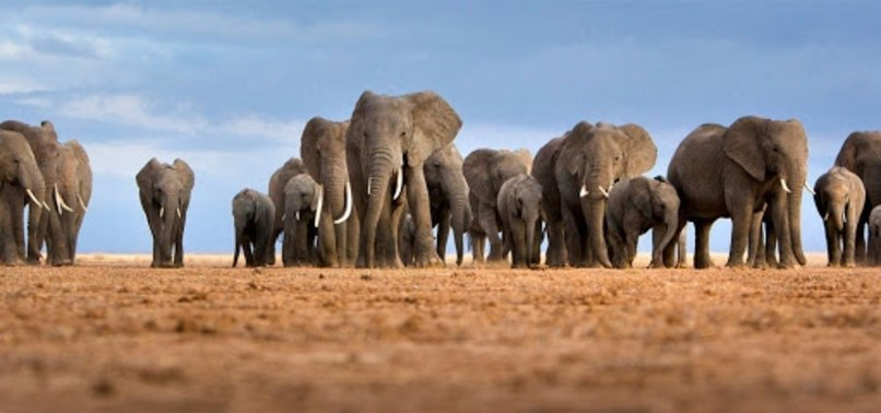 AFRICAS ELEPHANTS NOW ENDANGERED BY POACHING, HABITAT LOSS
