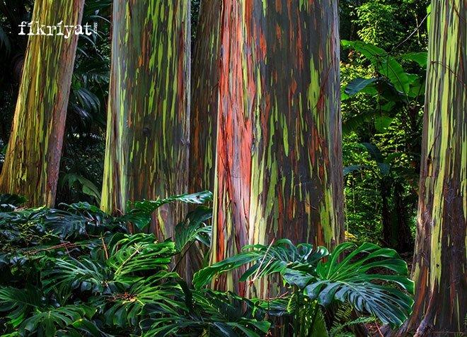 Gökkuşağı Okaliptüs Ağacı, Kuzey yarımküre