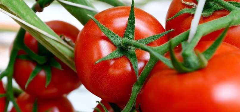 RUSSIA, TURKEY TO DISCUSS TOMATO IMPORTS IN AUGUST
