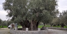Harvest time for world's oldest olive tree in Anatolia
