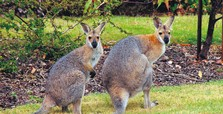 Kangaroo attacks couple in Australia, injures woman