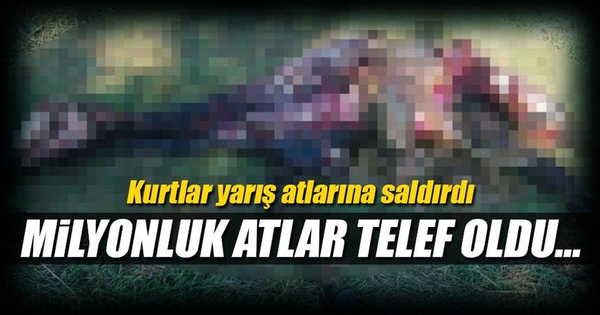 İstanbul'da kurt dehşeti! Yarış atları telef oldu