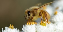 1st bee vaccine fresh hope for fighting off extinction