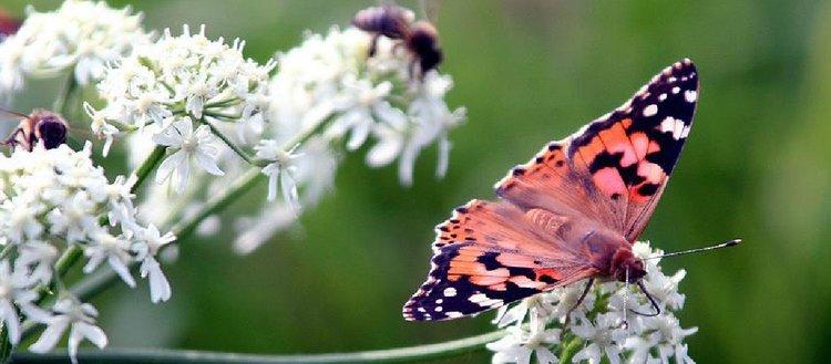 Böcek türlerinin yüzde 40ı yakın gelecekte yok olabilir
