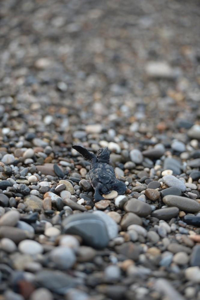 Volunteer students working to save endangered sea turtles in Turkey