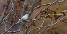Rare white sparrow spotted in Ankara's Altınpark