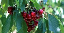 Turkey's cherry exports to China hit $3.3 million
