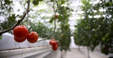 Russia to double tomato imports from Turkey