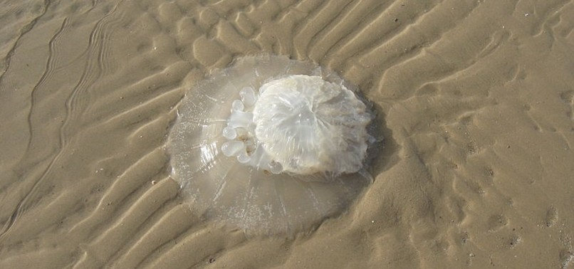 ANTALYA BEACHGOERS SHOULD WATCH OUT FOR NOMAD JELLYFISH, TURKISH EXPERT WARNS