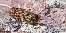Endangered butterfly observed in Turkey 50 years later