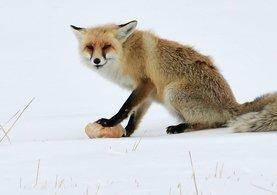 Kars'ın Sarıkamış ilçesinde aç kalan tilkiyi ekmekle besledi