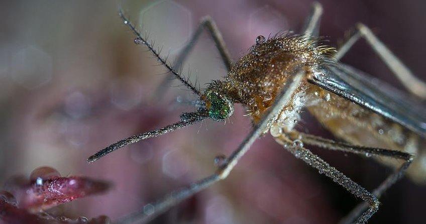 Çinde dev sivrisinek bulundu