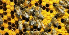 US winter wiped out 38% of honeybee colonies: survey