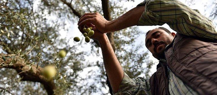 Tarsuslu zeytin üreticilerinin 'sarıulak' sevinci