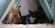 Cats can catch coronavirus, study finds, prompting WHO investigation