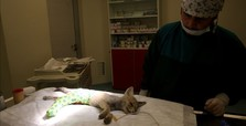 Baby fox hit by car finds new life in Turkey