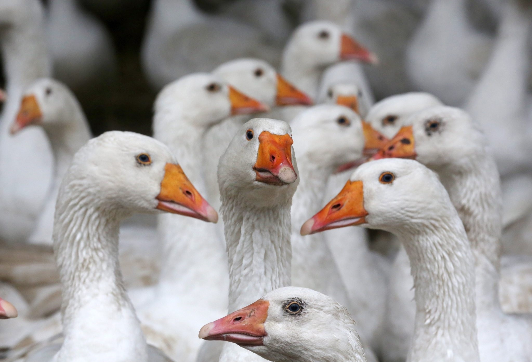 Geese are kept in stalls after farmers were ordered to keep the animals inside in the wake of an outbreak of avian flu in North Rhine-Westphalia. (EPA Photo)