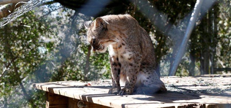 FLORIDA WILD CAT SANCTUARY CAUGHT IN HURRICANES PATH
