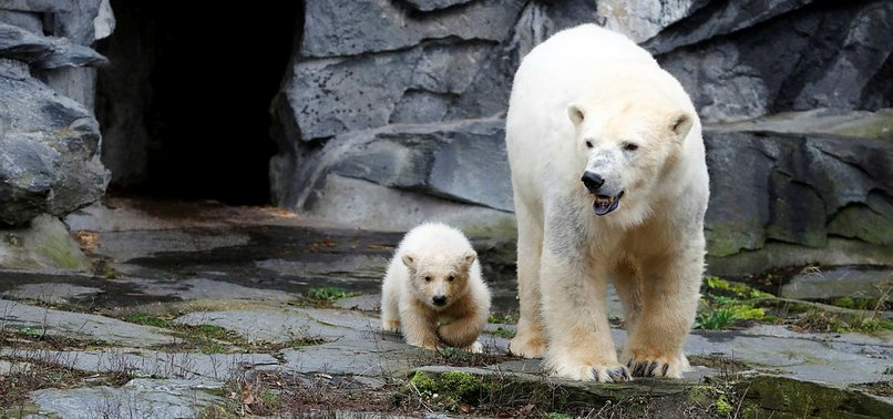 CUDDLY POLAR BEAR CUB MAKES SPLASH IN BERLIN DEBUT