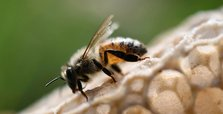 Environmental NGO praises Europe's move to protect bees