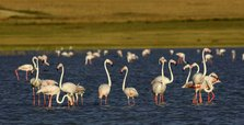 Turkey's eastern Van lake hosts flamingos
