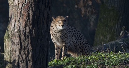pAmid population declines for many wildlife species in Africa, conservationists are sounding alarm bells for the cheetah, the fastest animal on land./p